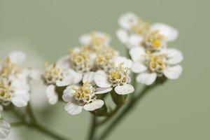 Achillea flowers over green