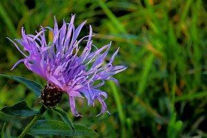 Autumn purple flower.