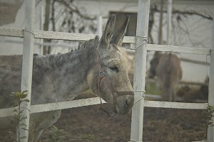 Gray donkey in the fence.