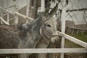 Young donkey locked up.