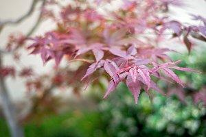 Japanese Garden-Red Leaves