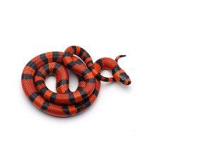 Red-black Milk snake