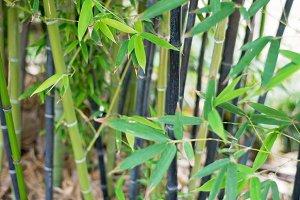 Japanese Garden-Bamboo