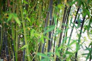 Japanese Garden- Bamboo