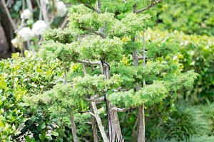 Japanese Garden-Bonsai Tree