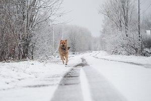 Bright rufous dog runs fast on snow