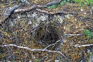 Entrance to the badger burrow in