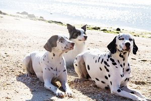 border collie and dalmata dogs on th