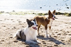 border collie dogs on the beach