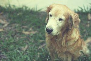 Portrait of golden retriever dog in