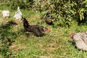 selective focus of flock of chickens