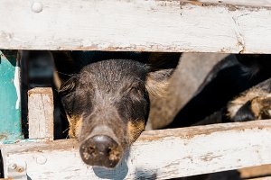close up view of black piglet standi