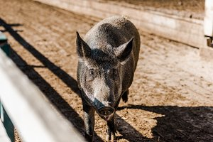 adorable grey pig walking in corral