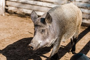 grey pig and piglet walking in corra