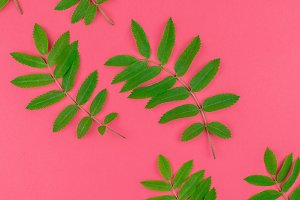 Green rowan tree leaves on bright pi