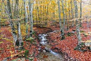 Autumn Beech Forest and Creek