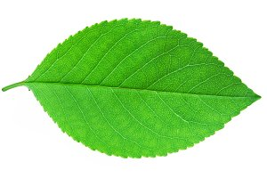 Cherry leaf isolated on white