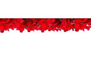 scarlet poinsettia flower or