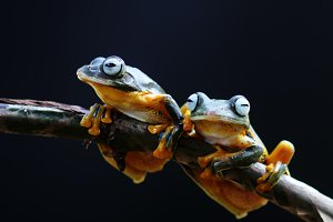 Wallace's flying frog, frogs,