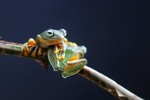 Wallace's flying frog, frogs