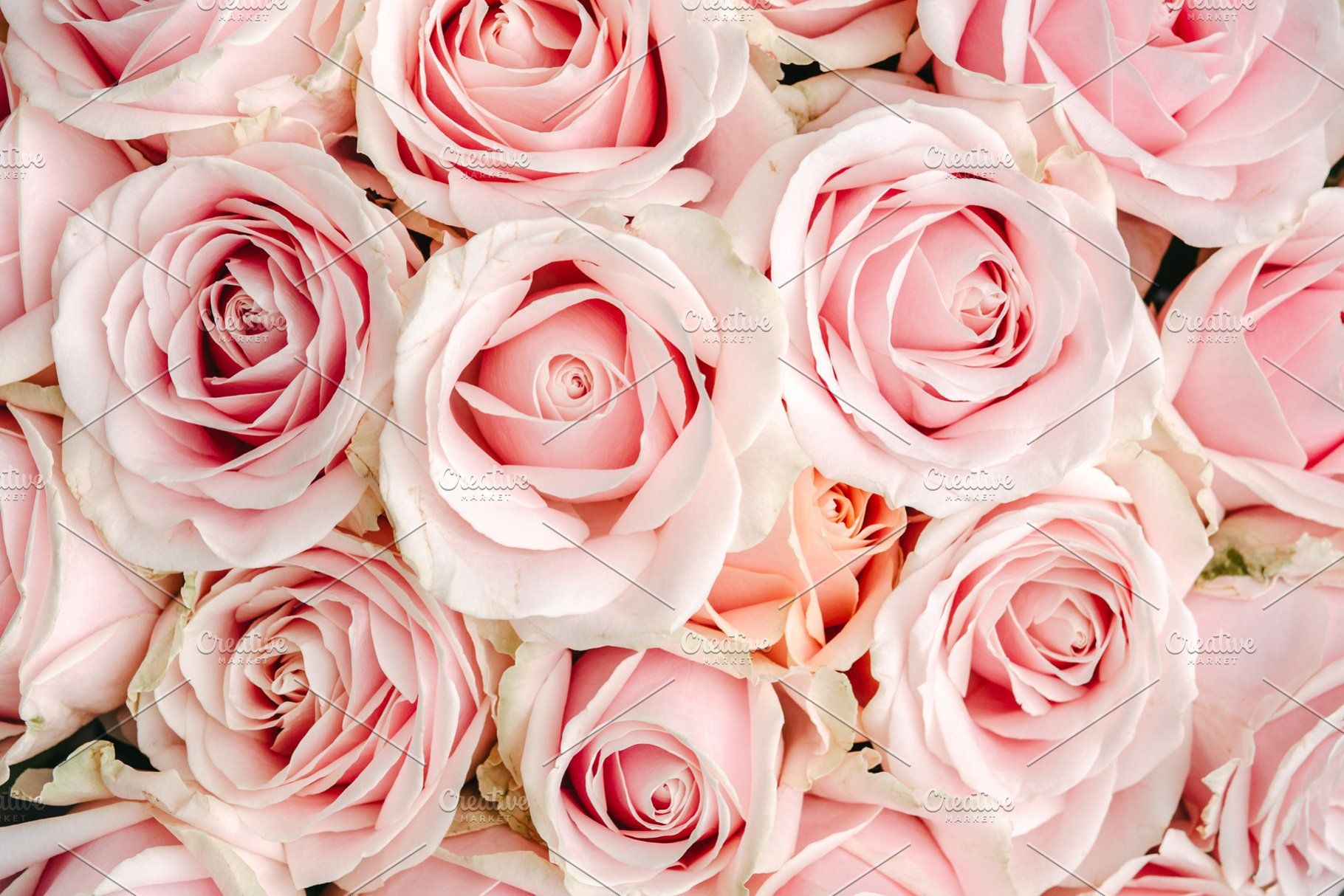 Pink Roses Background High Quality Nature Stock Photos