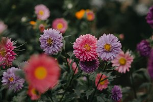 Colorful asters background