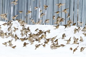 flock of sparrows in the winter