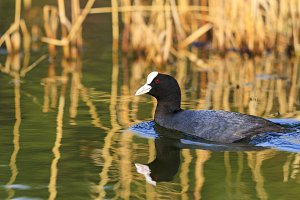 coot swims in the lake with