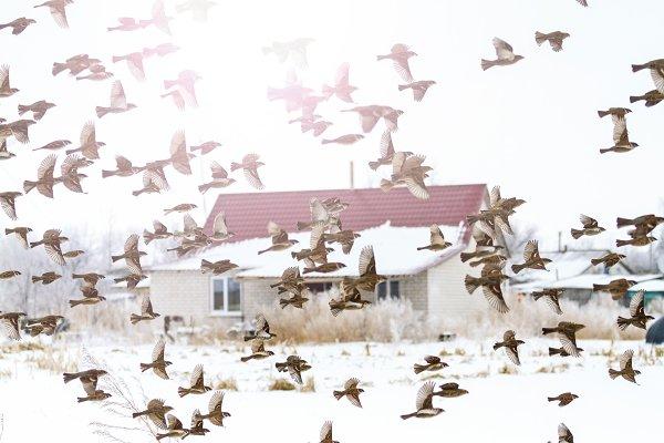 flock of birds flies in the winter