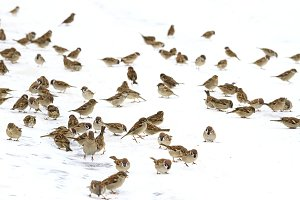flock of birds in the snow is