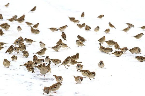 flock of birds in the snow is