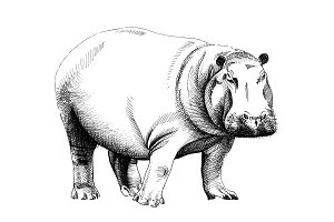 Hippo hand drawn illustrations
