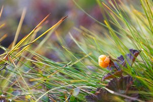 Ripe cloudberry with grass