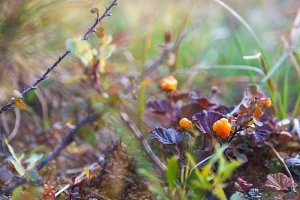 Ripe cloudberry in tundra