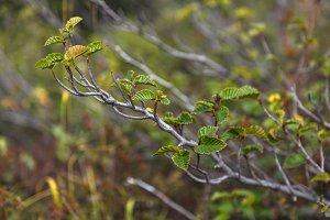 Dwafr alder leaves closeup