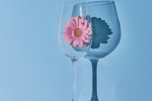Pink gerbera in a glass on a blue