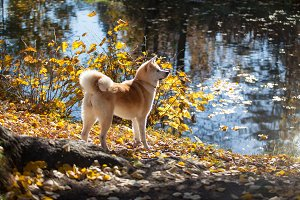 Beautiful dog breed Akita inu
