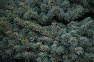 Background texture of fir tree