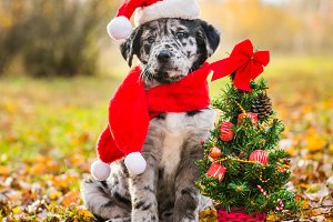 Labrador puppy in santa hat and