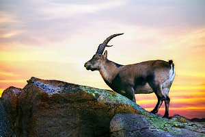 mountain goat in a sunset