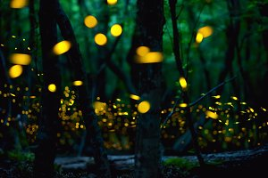 Firefly flying in the forest.