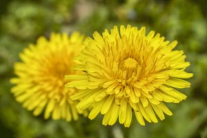 dandelion flower with very high leve