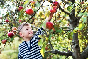 A small boy picking apples in