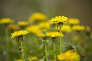 Two dandelions in the green grass