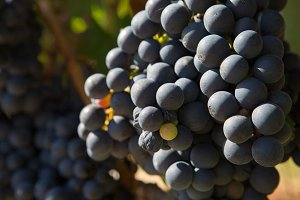 Ripe grapes bunch