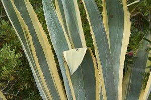 Mediterranean Aloe plant
