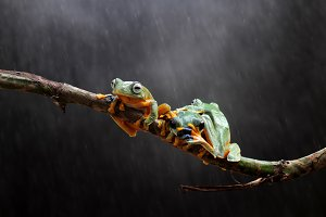 Wallace's flying frog is on a branch