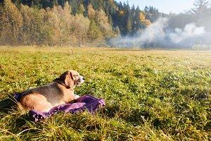 Beagle dog lying on the grass on a