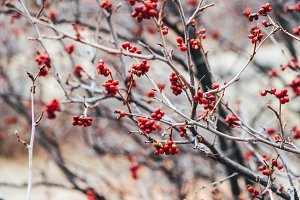 Red Berries in Branch
