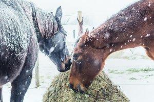 Two Horses feeding hay, winter